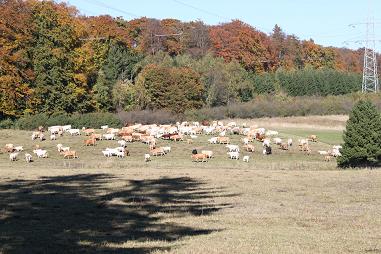 Koeien in de herfst